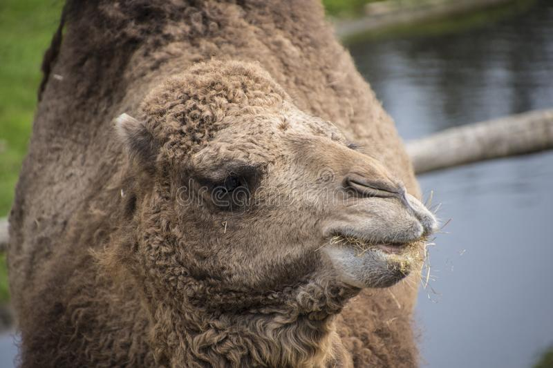 The Bactrian camel, Camelus bactrianus is a large, even-toed ungulate native to the steppes of Central Asia.  stock image