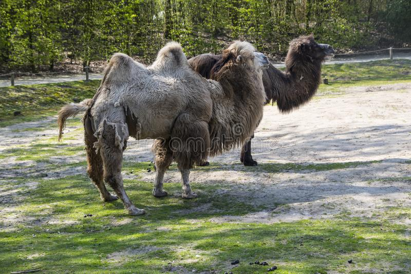 The Bactrian camel, Camelus bactrianus is a large, even-toed ungulate native to the steppes of Central Asia.  stock photo