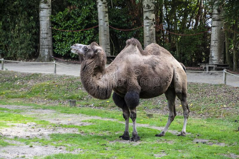 Bactrian camel, Camelus bactrianus is a large, even-toed ungulate native to the steppes of Central Asia.  stock photo