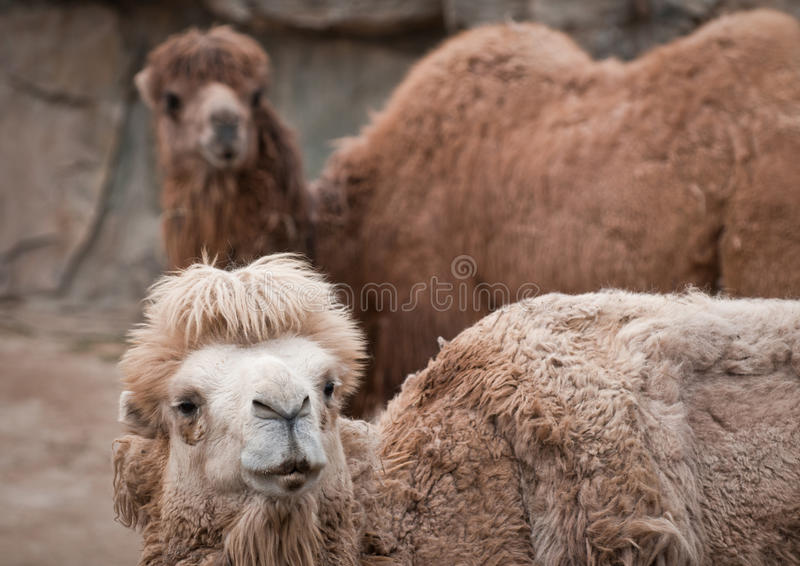 Download Bactrian camel stock photo. Image of head, bactrian, chinese - 32491242