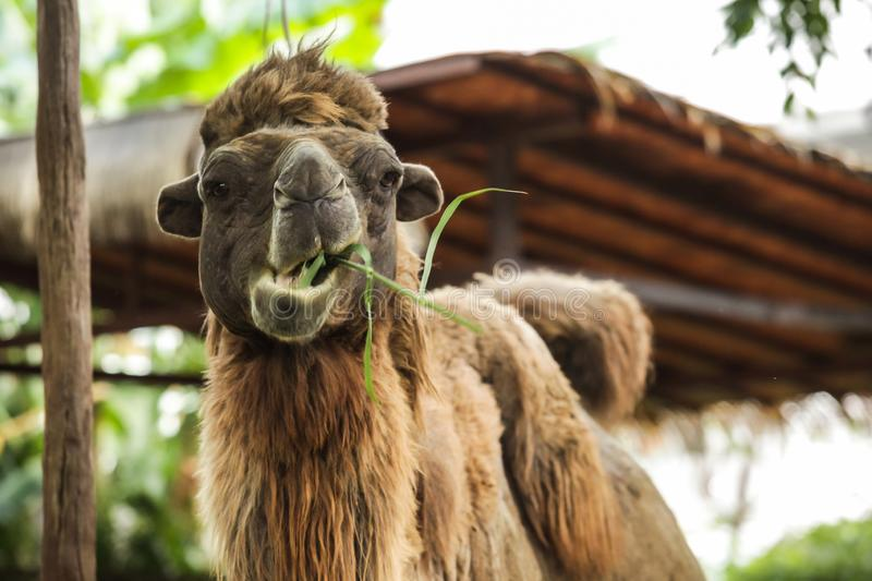 Bactrian camel has two humps for storing fat converted to water and energy when sustenance not available. These give camels abilit stock photography