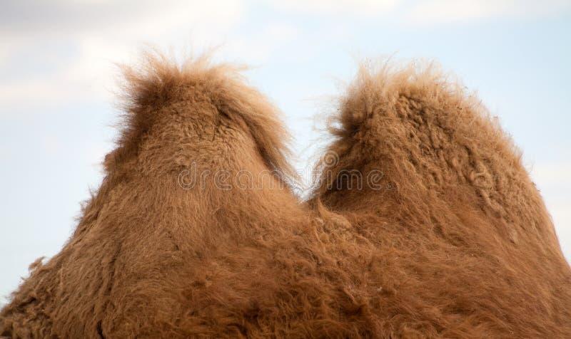 Bactrian camel humps stock photo