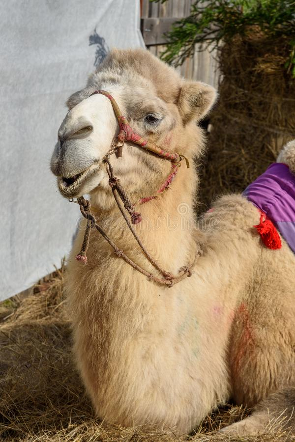 Bactrian camel lies on hay royalty free stock photo