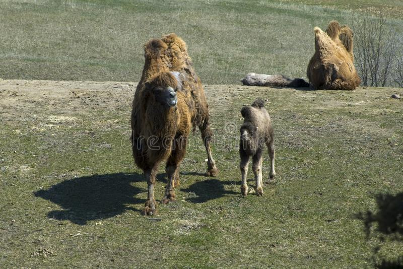 Bactrian Camel Pair and Offspring