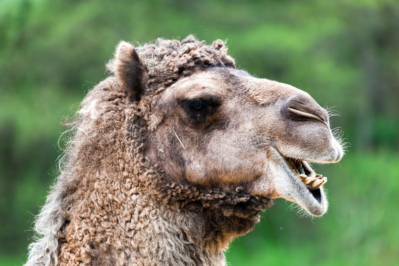 Download Bactrian Camel Portrait. Funny Expression Stock Photo - Image: 39668920