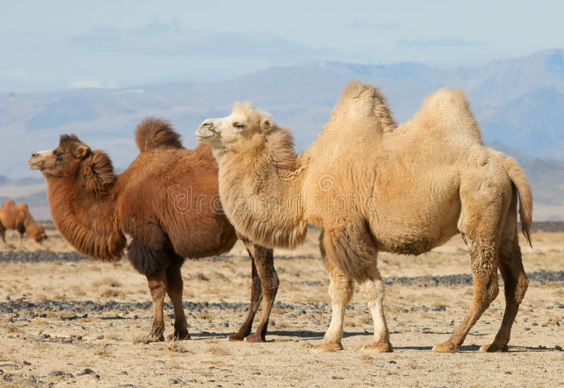 Bactrian camel in the steppes of Mongolia stock image
