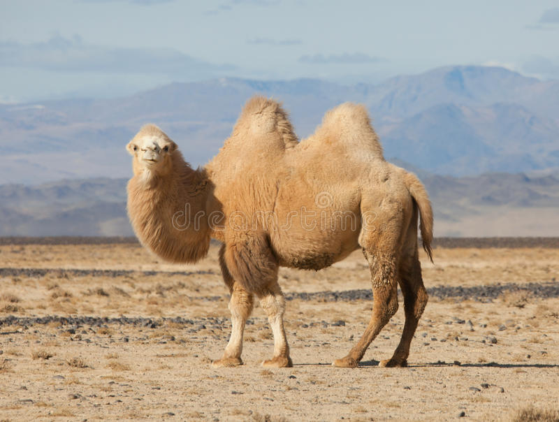 Bactrian camel in the steppes of Mongolia. True to transport a nomad royalty free stock photography