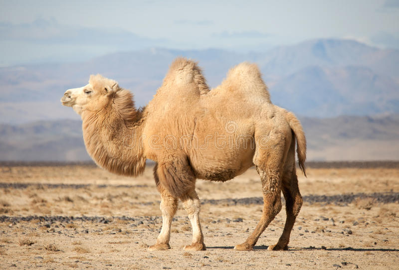 Bactrian camel in the steppes of Mongolia. True to transport a nomad royalty free stock image