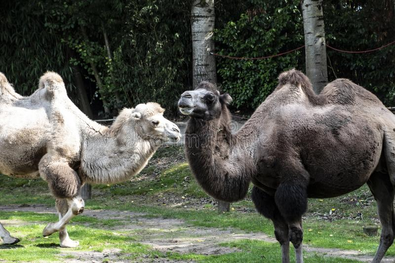 Bactrian camels, Camelus bactrianus is a large, even-toed ungulate native to the steppes of Central Asia.  royalty free stock photography