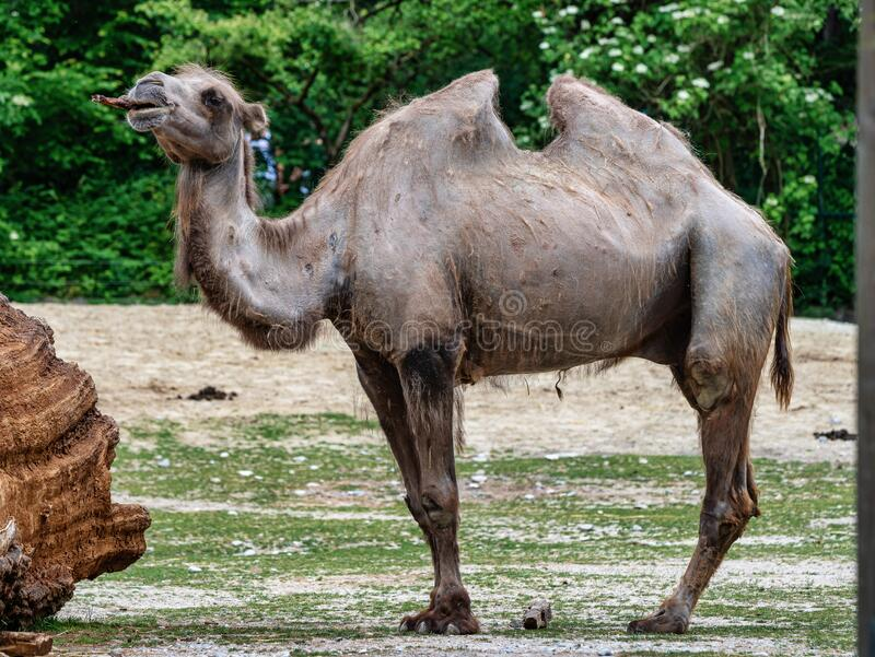Bactrian camel, Camelus bactrianus in a german zoo royalty free stock photos