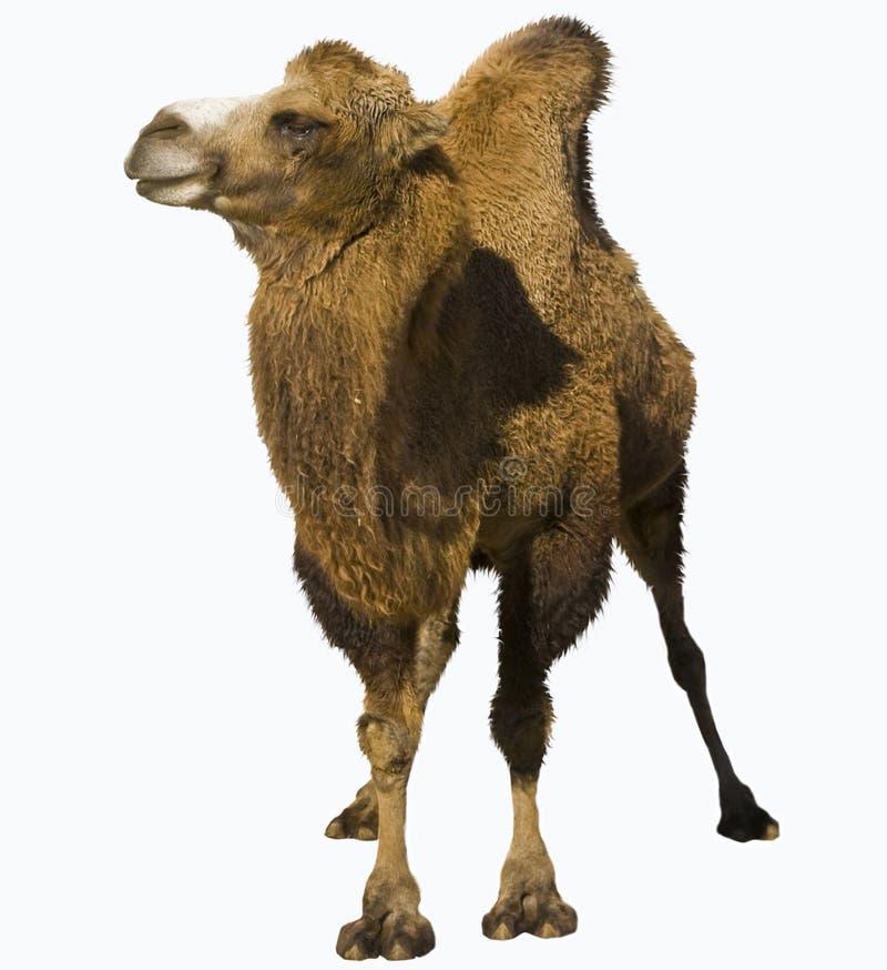 Bactrian Kamel stockbild