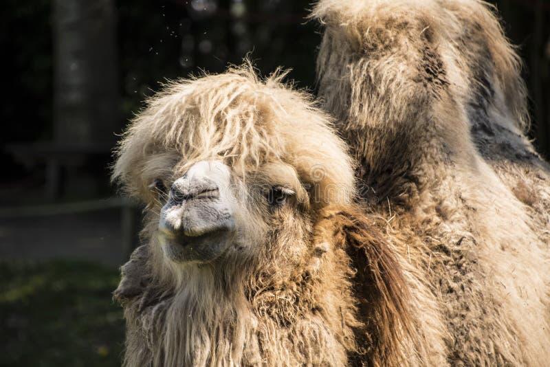 bactrian kamel Dess befolkning av två miljoner finns främst i den tämjde formen royaltyfria bilder