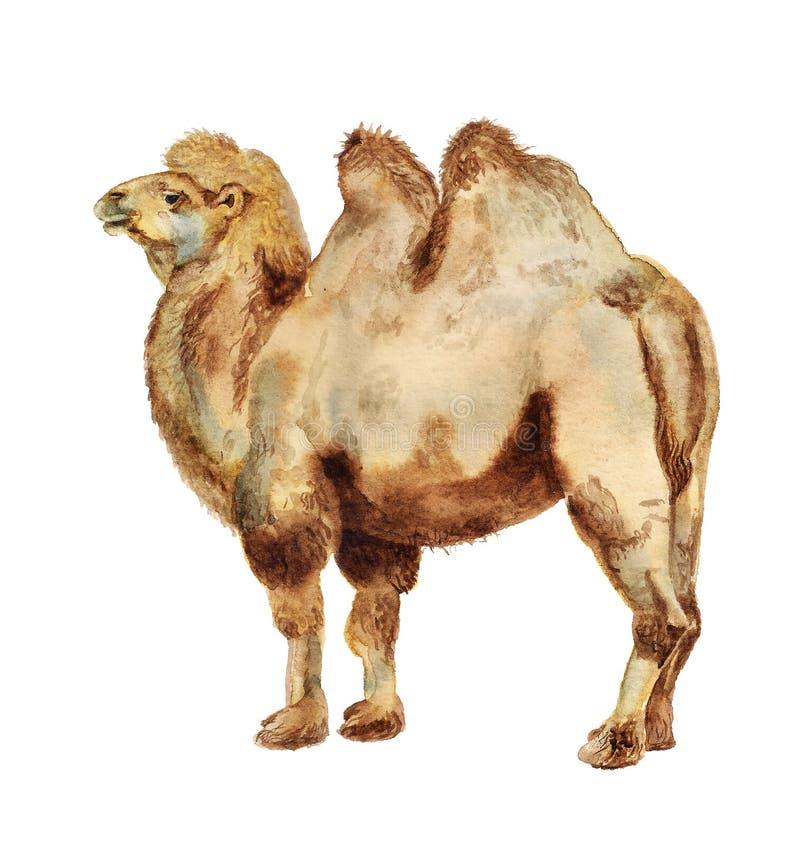 Bactrian kamel för vattenfärg royaltyfri illustrationer