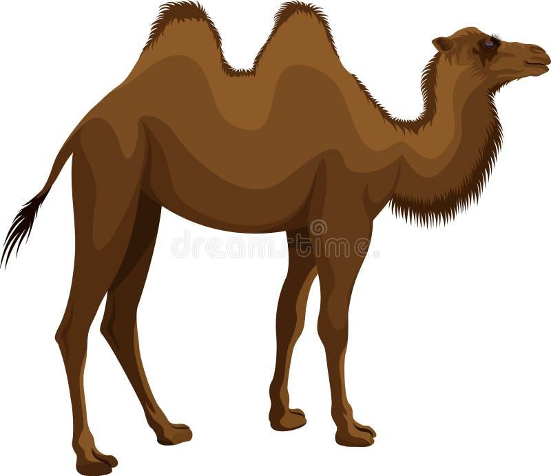 Bactrian kamel för vektormongolian vektor illustrationer