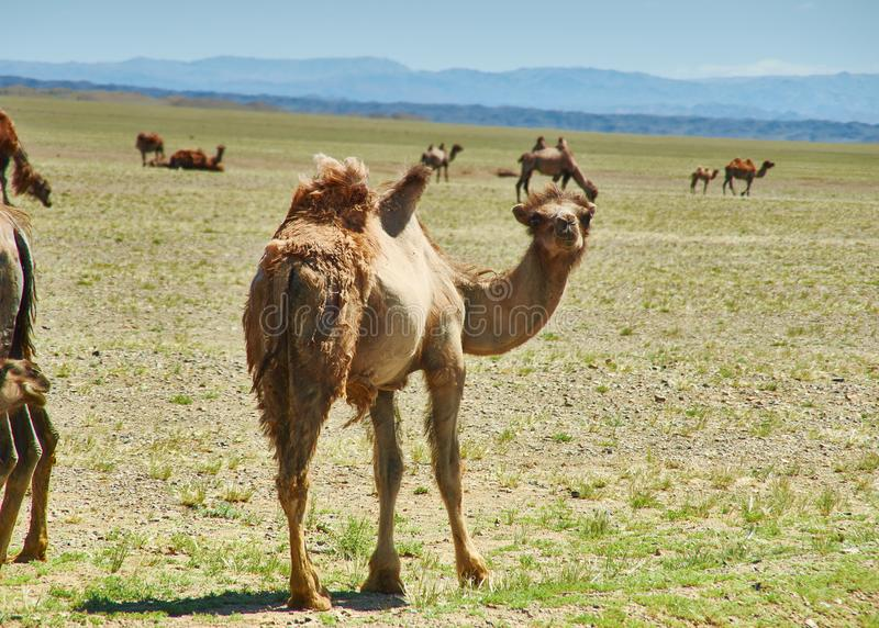Bactrian or two-humped camel stock photography