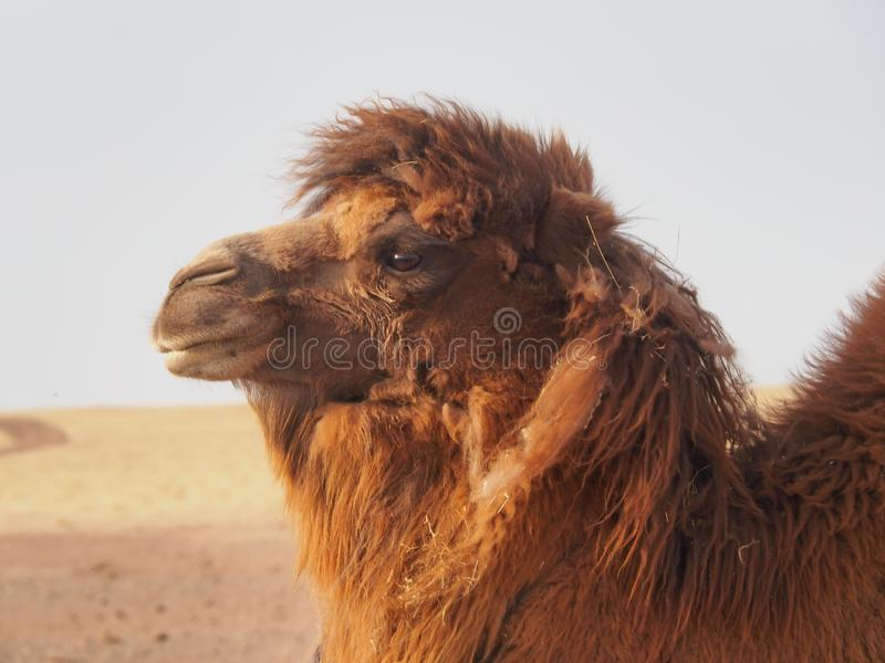 Bactrian or two-humped camel in the Gobi Desert, Mongolia royalty free stock photos