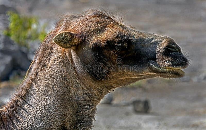 Bactrian wielbłąda głowa obraz royalty free