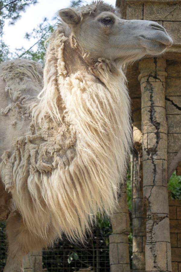 BACTRIAN wielbłąda głowa ZAMKNIĘTA W GÓRĘ zdjęcia stock