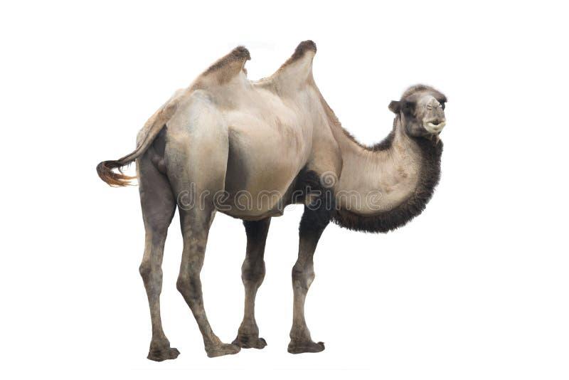 Bactrianus del Camelus del camello aislado imágenes de archivo libres de regalías