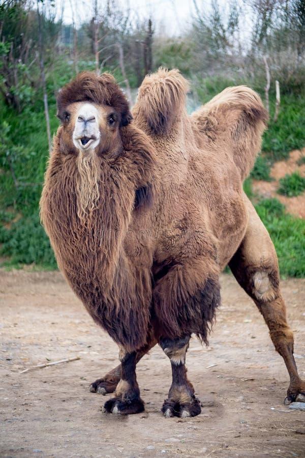 Bactrianus del Camelus del camello bactriano imágenes de archivo libres de regalías