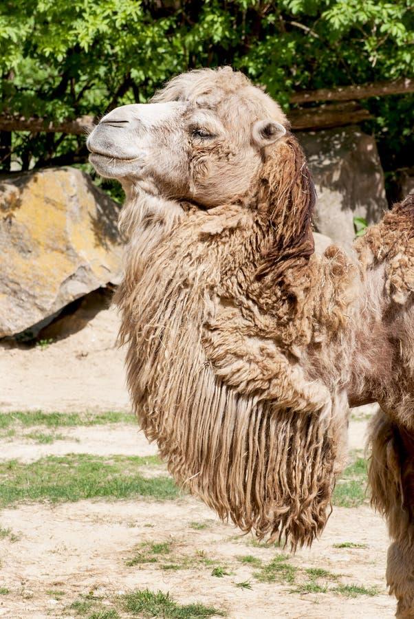 Bactrische kameel stock afbeeldingen