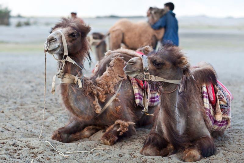 Bactrische kameel in Nubra vallei, Ladakh stock foto's