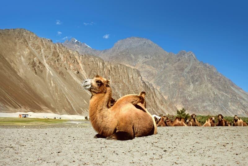 Bactrische Kamelen op de Vallei Nubra royalty-vrije stock afbeeldingen