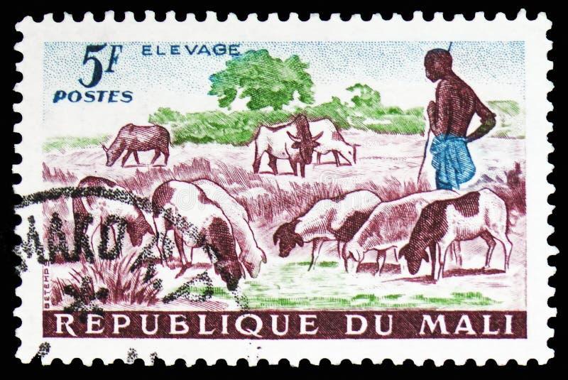 Bacy, cakli, bydło, rolnictwa i sztuki seria około 1961, (Ovis ammon aries) obrazy stock