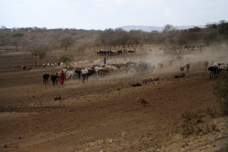 Bacy krowy w Tanzania obrazy stock