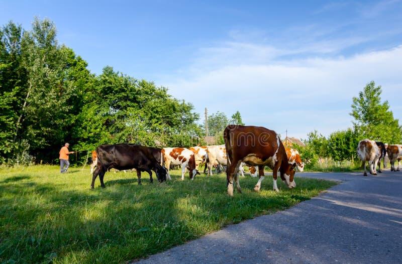 Bacy są przejażdżką stado bloodstock krowy, chodzi na ro zdjęcia royalty free