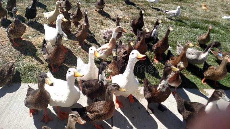 Baczne kaczki zdjęcie stock
