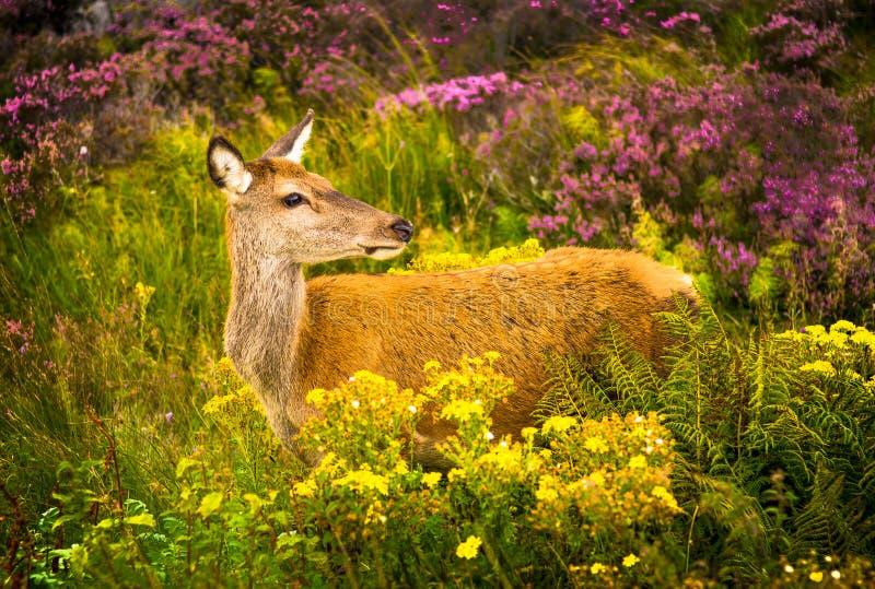 Baczni Żeńscy rogacze W Scenicznym średniogórze krajobrazie W Szkocja obrazy stock
