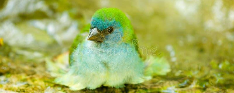 Blauwe hoofdvogel die bad neemt stock foto