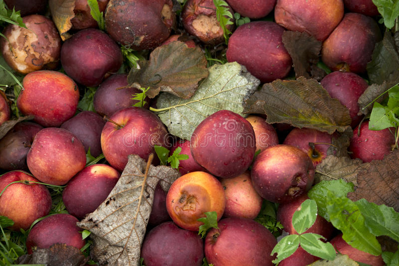 Bad apples. Fall background - texture stock photo