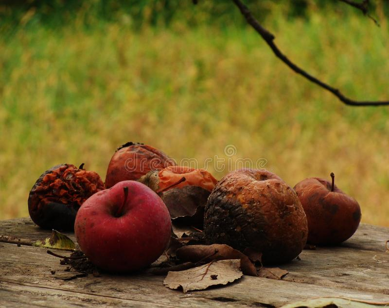 Bad apples in nature stock images