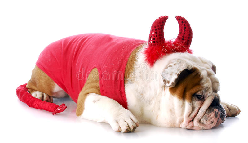 Bad dog. English bulldog with devilish expression in devil costume with reflection on white background royalty free stock photos