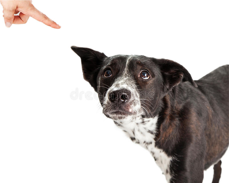 Bad Dog Being Scolded By Owner. A scared Australian Shepherd Mixed Breed Dog looking up at his owner scolding him and pointing a finger royalty free stock photo
