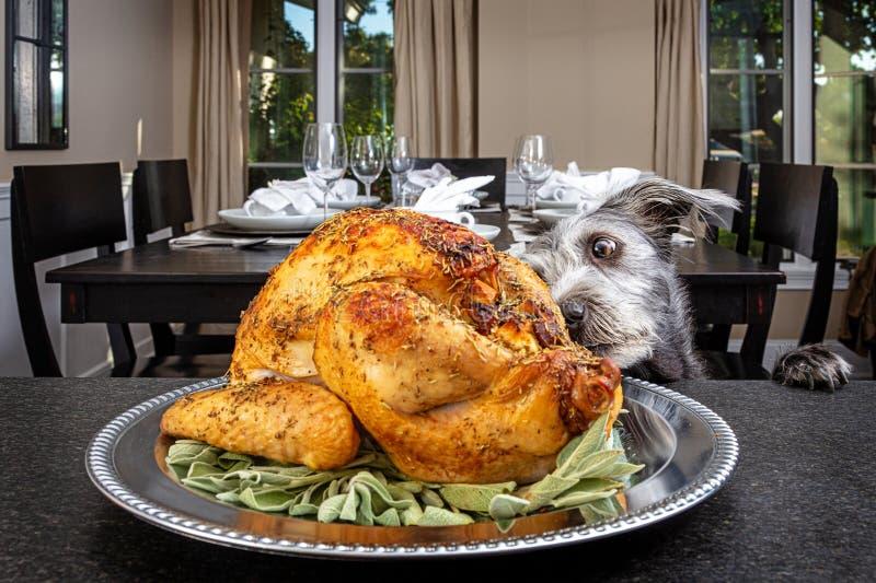 Dog Stealing Thanksgiving Turkey. Bad dog jumping up on counter stealing Thanksgiving holiday dinner turkey stock photography