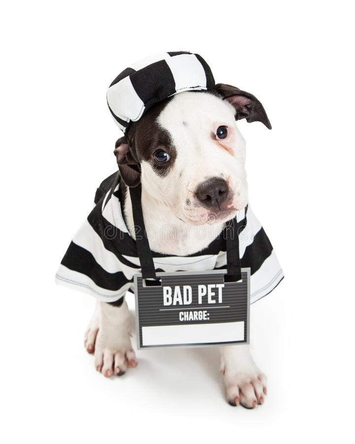 Bad Dog Wearing Criminal Halloween Costume. Funny photo of guilty dog wearing striped prisoner costume and bad pet sign with blank area for text royalty free stock image