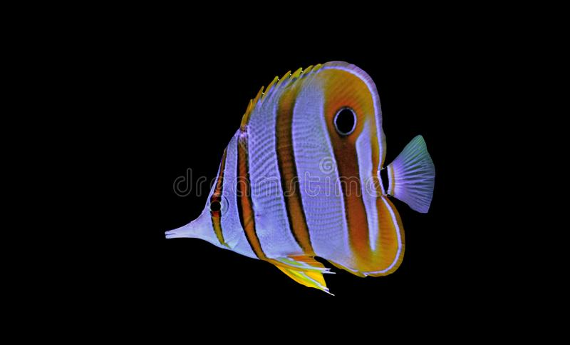 Bad för Copperband fjärilsfisk i behållare för akvarium för korallrev royaltyfri foto