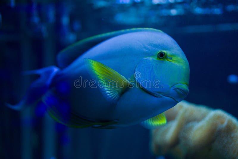 Bad för fisk för Acanthurusblochiikirurg i akvariet arkivfoton