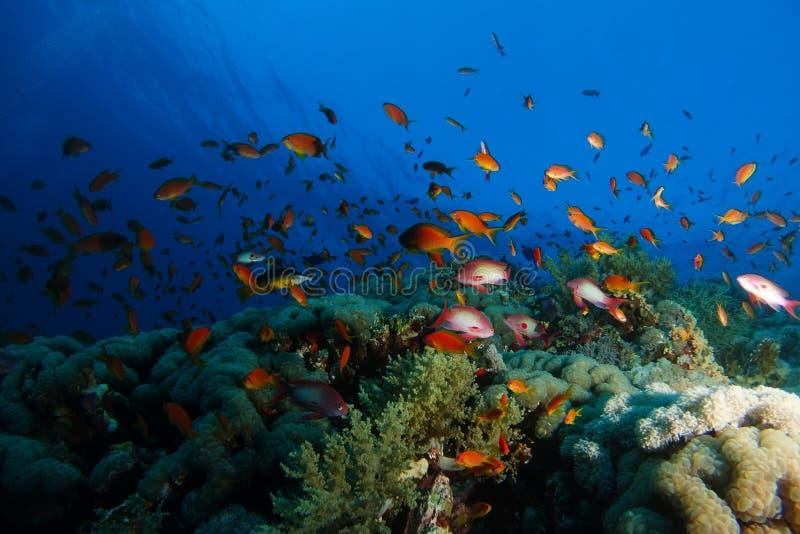 Bad för havsgoldiefisk över korallträdgården i ett dramatiskt ljus arkivfoton