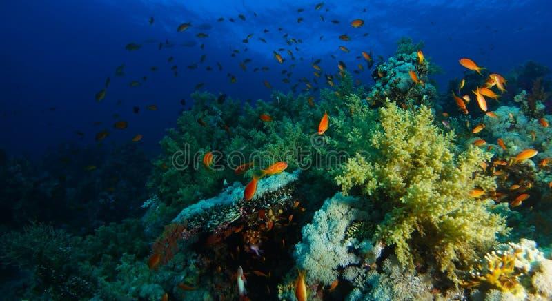 Bad för havsgoldiefisk inom korallträdgården i ett dramatiskt ljus royaltyfria foton