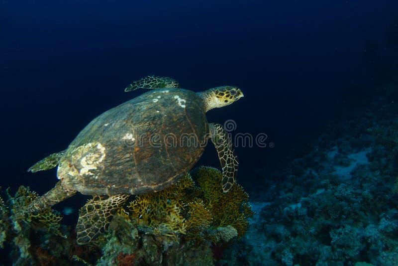 Bad för havssköldpadda över firelkorallerna arkivbilder
