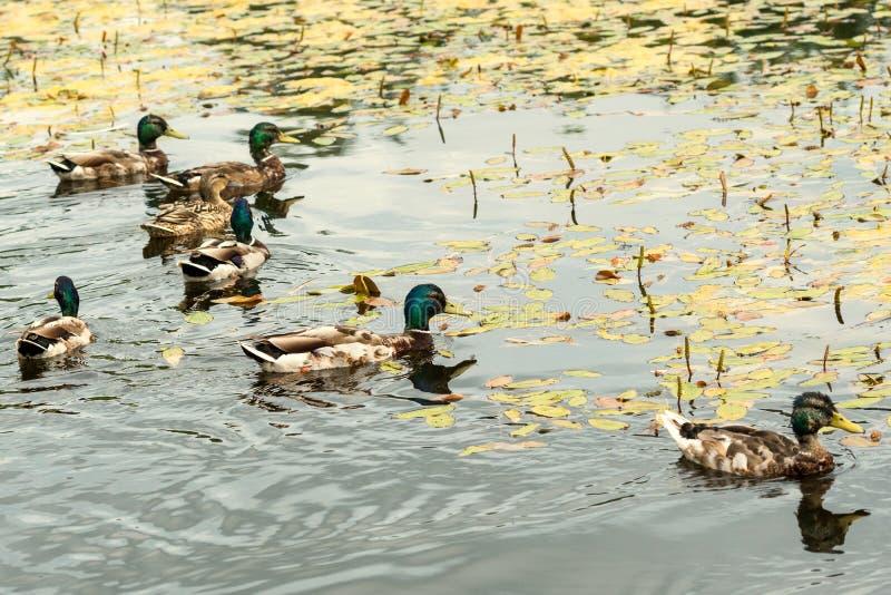 Bad för lösa änder i dammet royaltyfri foto