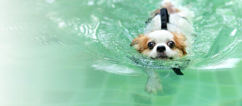 Bad för omslag för flytväst för ung chihuahuahund bärande i simbassängen som ser kameran med för att koppla av fritid på ferie royaltyfria bilder