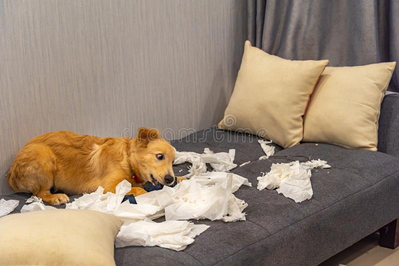 Bad golden retriever dog playing toilet paper on sofa stock image