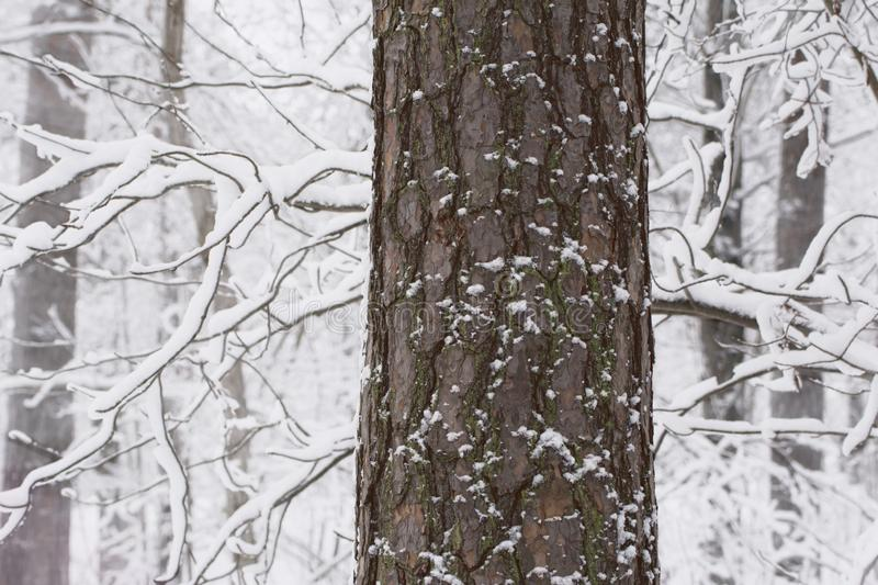 Bad hair day - Bark on tree trunk in snowy forest. Close-up of a bark covered tree trunk in a white forest. Frizzy branches heavy with snow royalty free stock images