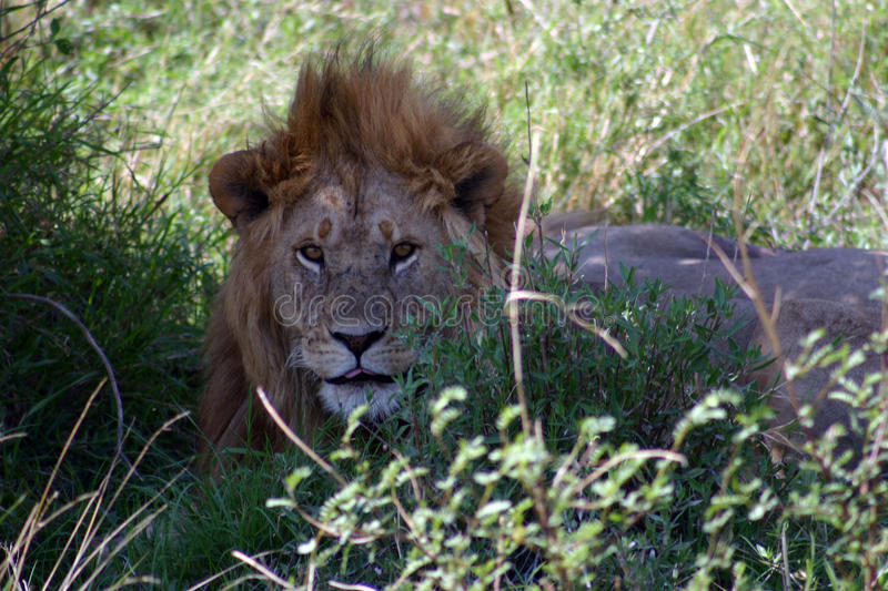 Bad Hair Day. Male lion having a bad hair day or has he just woken up royalty free stock photography
