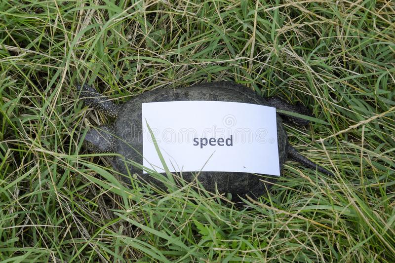 A bad internet symbol. Low download speed. Slow internet. Ordinary river tortoise of temperate latitudes. The tortoise is an ancie royalty free stock photography